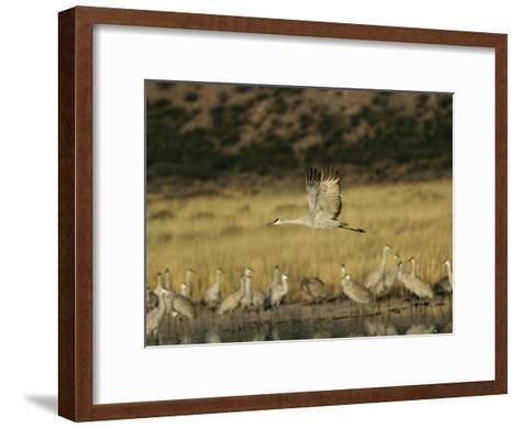 Sandhill Crane Flying Past Others Standing Around Water-Marc Moritsch-Framed Art Print