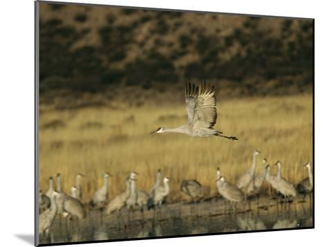 Sandhill Crane Flying Past Others Standing Around Water-Marc Moritsch-Mounted Photographic Print