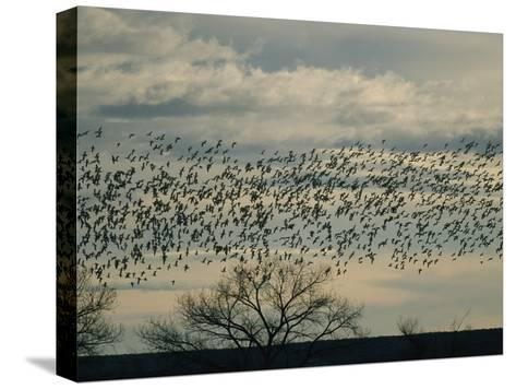Flock of Snow Geese in Flight at Twilight-Marc Moritsch-Stretched Canvas Print
