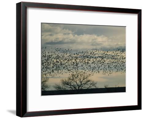 Flock of Snow Geese in Flight at Twilight-Marc Moritsch-Framed Art Print