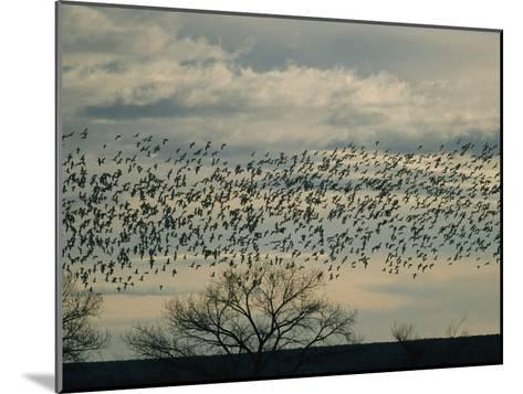 Flock of Snow Geese in Flight at Twilight-Marc Moritsch-Mounted Photographic Print