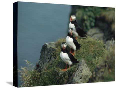 Trio of Atlantic Puffins Perch on a Grass-Covered Cliff-Sisse Brimberg-Stretched Canvas Print