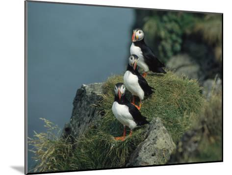 Trio of Atlantic Puffins Perch on a Grass-Covered Cliff-Sisse Brimberg-Mounted Photographic Print