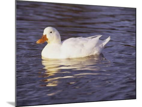 Duck-Lauree Feldman-Mounted Photographic Print