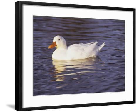 Duck-Lauree Feldman-Framed Art Print