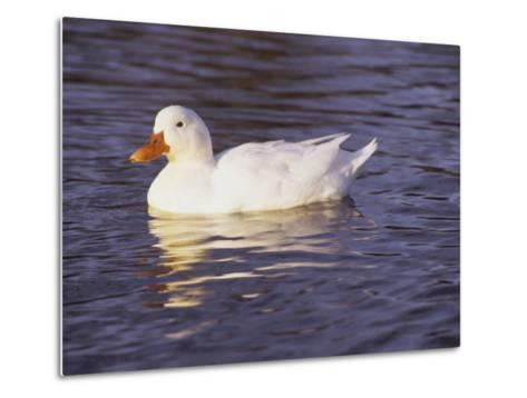 Duck-Lauree Feldman-Metal Print