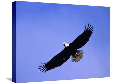 A Bald Eagle (Haliaeetus Leucocephalus) in Flight Near Homer, Alaska, Homer, USA-Mark Newman-Stretched Canvas Print