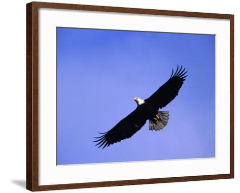 A Bald Eagle (Haliaeetus Leucocephalus) in Flight Near Homer, Alaska, Homer, USA-Mark Newman-Framed Art Print