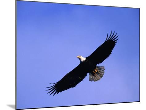 A Bald Eagle (Haliaeetus Leucocephalus) in Flight Near Homer, Alaska, Homer, USA-Mark Newman-Mounted Photographic Print