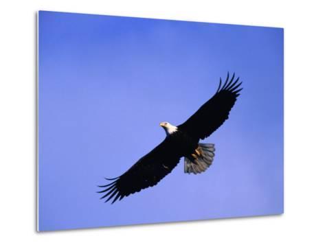 A Bald Eagle (Haliaeetus Leucocephalus) in Flight Near Homer, Alaska, Homer, USA-Mark Newman-Metal Print
