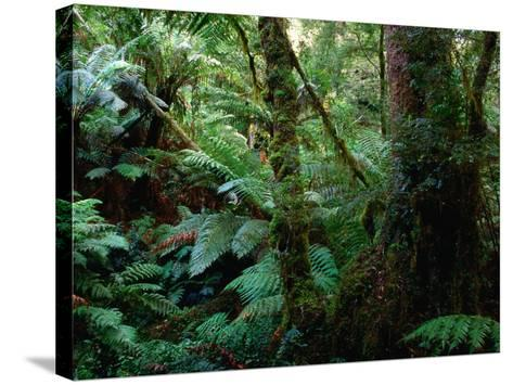 Trees, Tree Fern and Moss in the Dense, Wet Rainforest, Otway National Park, Australia-Rodney Hyett-Stretched Canvas Print