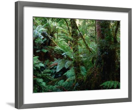 Trees, Tree Fern and Moss in the Dense, Wet Rainforest, Otway National Park, Australia-Rodney Hyett-Framed Art Print