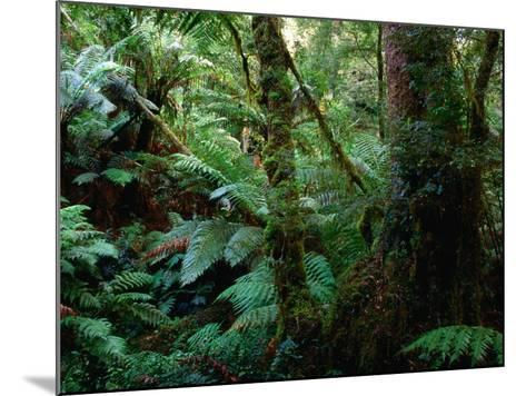 Trees, Tree Fern and Moss in the Dense, Wet Rainforest, Otway National Park, Australia-Rodney Hyett-Mounted Photographic Print