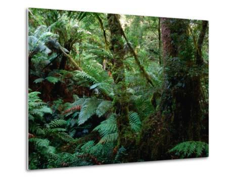 Trees, Tree Fern and Moss in the Dense, Wet Rainforest, Otway National Park, Australia-Rodney Hyett-Metal Print