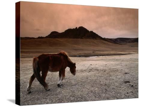 The Wild Horse of Mongolia-Olivier Cirendini-Stretched Canvas Print