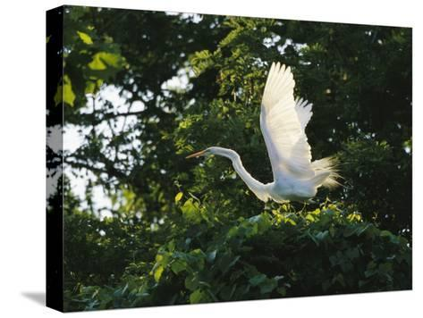 A Great Egret Spreads its Wings in its Vine-Covered Nest-Raymond Gehman-Stretched Canvas Print