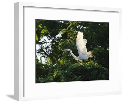 A Great Egret Spreads its Wings in its Vine-Covered Nest-Raymond Gehman-Framed Art Print