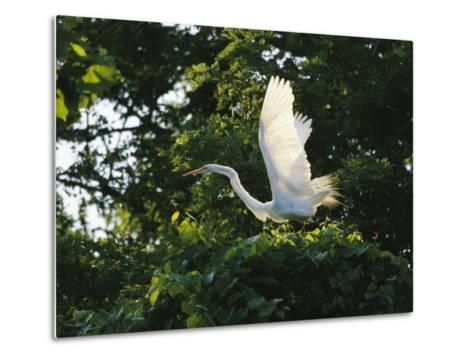 A Great Egret Spreads its Wings in its Vine-Covered Nest-Raymond Gehman-Metal Print