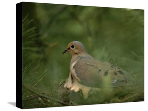 Mourning Dove (Zenaida Macroura) Nesting in a Pine Tree-Brian Gordon Green-Stretched Canvas Print