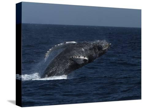 A Breaching Humpback Whale in the Sea of Cortez-Ralph Lee Hopkins-Stretched Canvas Print