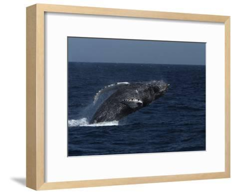 A Breaching Humpback Whale in the Sea of Cortez-Ralph Lee Hopkins-Framed Art Print