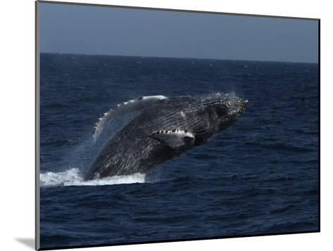 A Breaching Humpback Whale in the Sea of Cortez-Ralph Lee Hopkins-Mounted Photographic Print