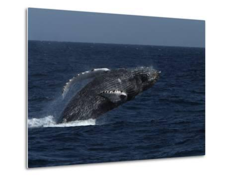 A Breaching Humpback Whale in the Sea of Cortez-Ralph Lee Hopkins-Metal Print
