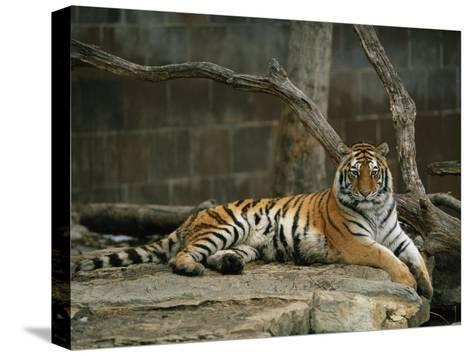 A Siberian Tiger Rests in Her Outdoor Enclosure-Joel Sartore-Stretched Canvas Print
