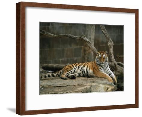 A Siberian Tiger Rests in Her Outdoor Enclosure-Joel Sartore-Framed Art Print