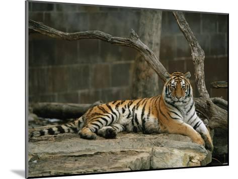 A Siberian Tiger Rests in Her Outdoor Enclosure-Joel Sartore-Mounted Photographic Print