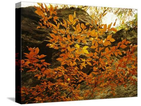 Autumn-Colored Beech Trees at Raven Rock-Raymond Gehman-Stretched Canvas Print