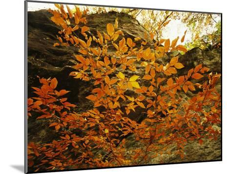 Autumn-Colored Beech Trees at Raven Rock-Raymond Gehman-Mounted Photographic Print