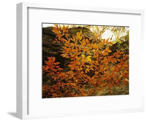 Autumn-Colored Beech Trees at Raven Rock-Raymond Gehman-Framed Art Print