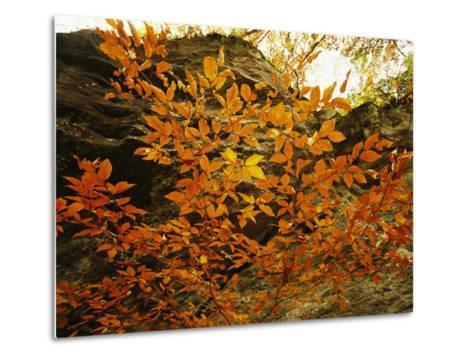 Autumn-Colored Beech Trees at Raven Rock-Raymond Gehman-Metal Print