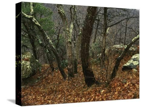 Trees and Rock with Lichen at 3400 Feet Along the Appalachian Trail, at Pinnacles-Raymond Gehman-Stretched Canvas Print