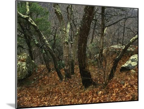 Trees and Rock with Lichen at 3400 Feet Along the Appalachian Trail, at Pinnacles-Raymond Gehman-Mounted Photographic Print
