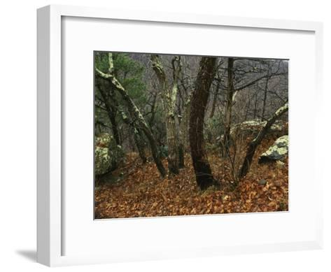 Trees and Rock with Lichen at 3400 Feet Along the Appalachian Trail, at Pinnacles-Raymond Gehman-Framed Art Print