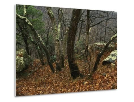 Trees and Rock with Lichen at 3400 Feet Along the Appalachian Trail, at Pinnacles-Raymond Gehman-Metal Print