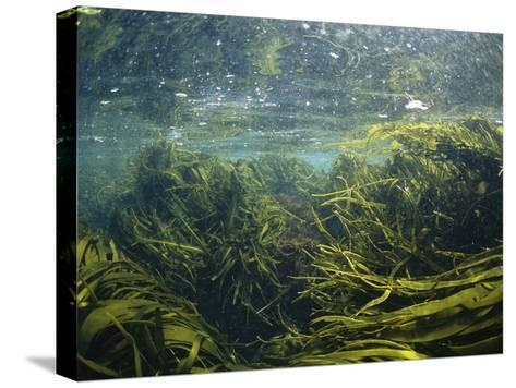 Kelp Leaves Wave in a Kelp Forest-Nick Caloyianis-Stretched Canvas Print