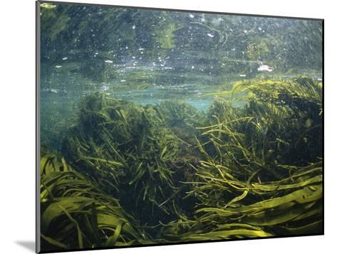 Kelp Leaves Wave in a Kelp Forest-Nick Caloyianis-Mounted Photographic Print