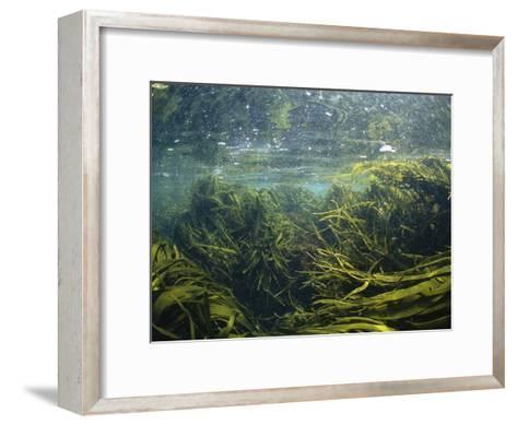 Kelp Leaves Wave in a Kelp Forest-Nick Caloyianis-Framed Art Print