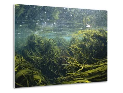 Kelp Leaves Wave in a Kelp Forest-Nick Caloyianis-Metal Print