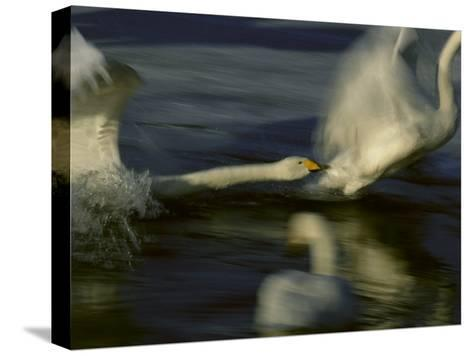 Whooper Swans Racing Across Water During Takeoff--Stretched Canvas Print