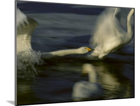 Whooper Swans Racing Across Water During Takeoff--Mounted Photographic Print