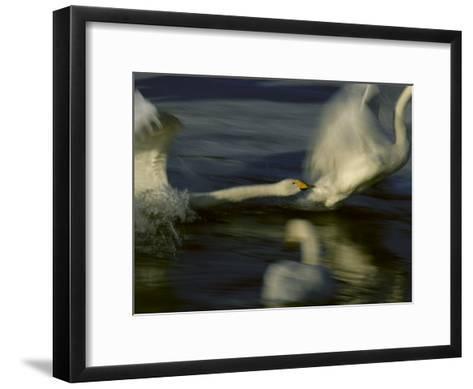 Whooper Swans Racing Across Water During Takeoff--Framed Art Print