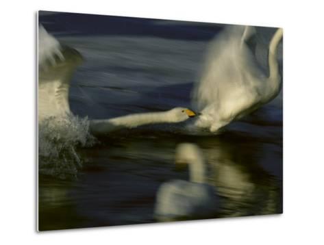 Whooper Swans Racing Across Water During Takeoff--Metal Print