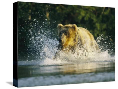 A Brown Bear Splashing in Water While Hunting Salmon-Klaus Nigge-Stretched Canvas Print
