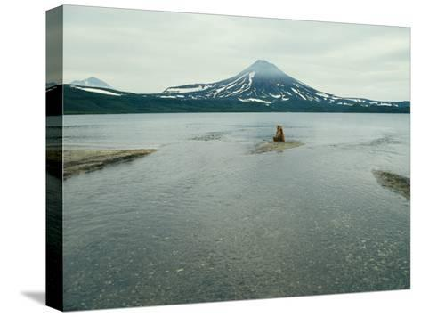 A Brown Bear Sitting on a Sandbar in a River Near a Volcanic Mountain-Klaus Nigge-Stretched Canvas Print