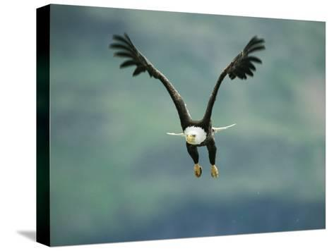 An American Bald Eagle in Flight-Klaus Nigge-Stretched Canvas Print