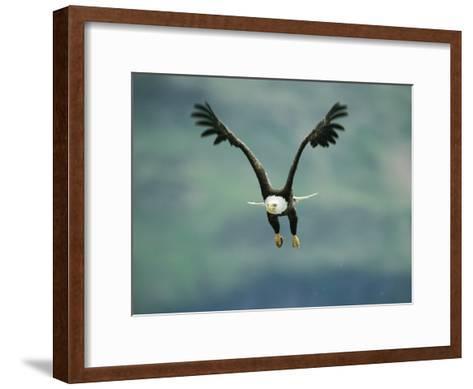 An American Bald Eagle in Flight-Klaus Nigge-Framed Art Print